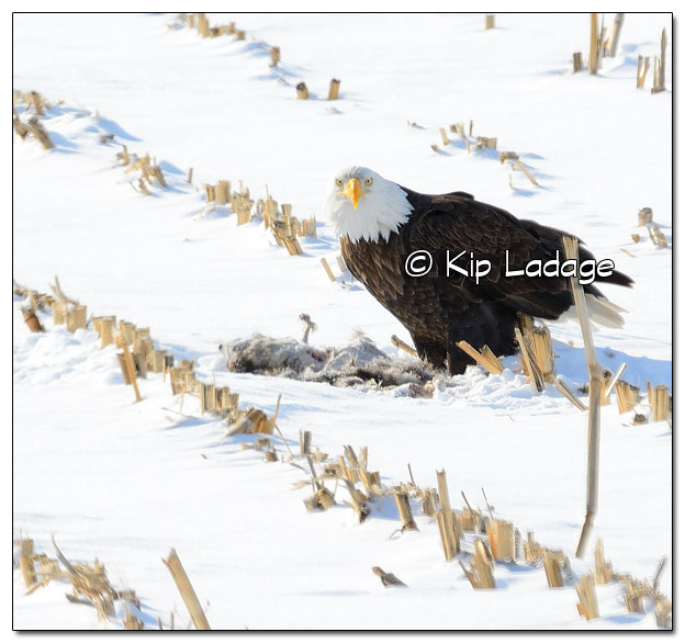 Adult Bald Eagle Feeding on Raccoon Carcass - Image 485409 - (© Kip Ladage)