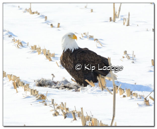 Adult Bald Eagle Feeding on Raccoon Carcass - Image 485414 - (© Kip Ladage)