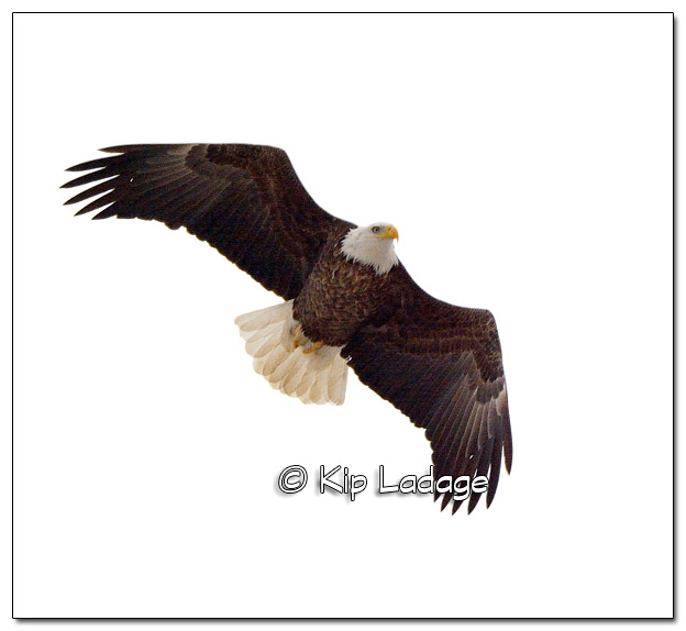 Adult Bald Eagle in Fight - Image 487348 (© Kip Ladage)
