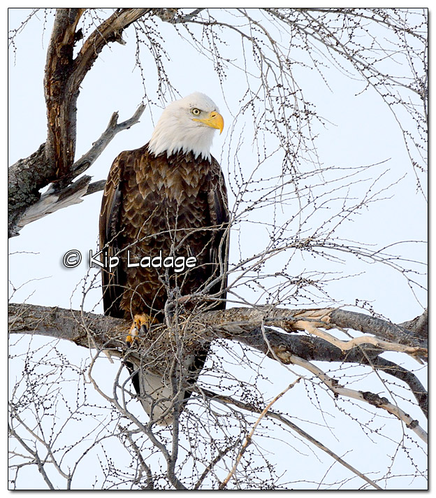 Adult Bald Eagle in Tree - Image 485426 - (© Kip Ladage)