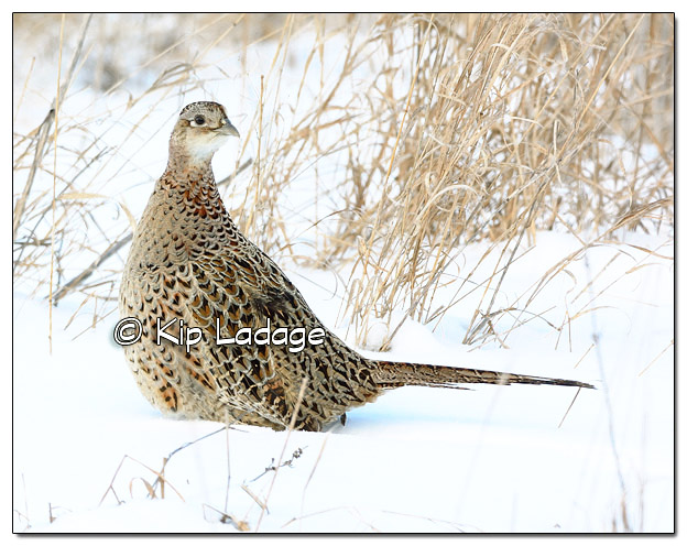 Hen Ring-necked Pheasant in Snow - Image 485138 (© Kip Ladage)