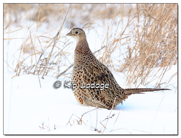 Hen Ring-necked Pheasant in Snow - Image 485146 (© Kip Ladage)