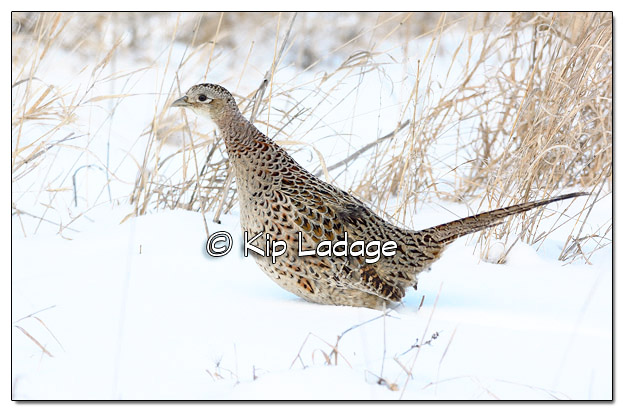 Hen Ring-necked Pheasant in Snow - Image 485147 (© Kip Ladage)