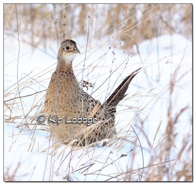 Hen Ring-necked Pheasant in Snow - Image 485150 (© Kip Ladage)