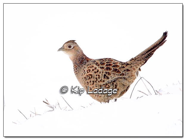 Hen Ring-necked Pheasant in Snow - Image 485173 (© Kip Ladage)