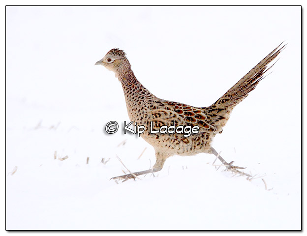 Hen Ring-necked Pheasant in Snow - Image 485179 (© Kip Ladage)