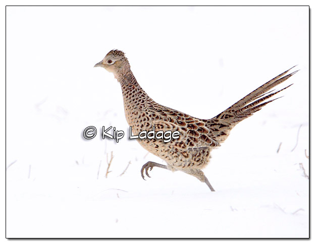 Hen Ring-necked Pheasant in Snow - Image 485183 (© Kip Ladage)