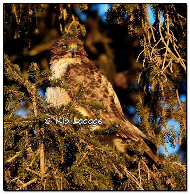 Red-tailed Hawk in Conifer - Image 484128 (© Kip Ladage)