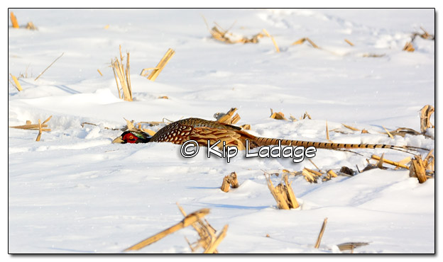 Rooster Ring-necked Pheasant Hiding in Corn Stubble - Image 486225 (© Kip Ladage)