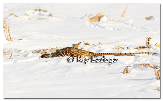 Rooster Ring-necked Pheasant Hiding in Corn Stubble - Image 486259 (© Kip Ladage)