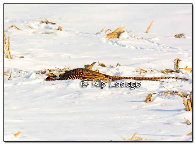 Rooster Ring-necked Pheasant Hiding in Corn Stubble - Image 486265 (© Kip Ladage)