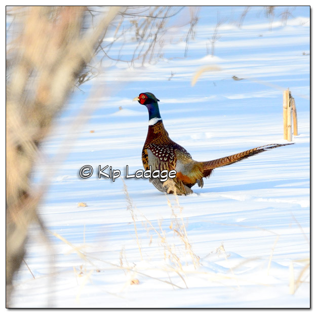 Rooster Ring-necked Pheasant - Image 486272 (© Kip Ladage)