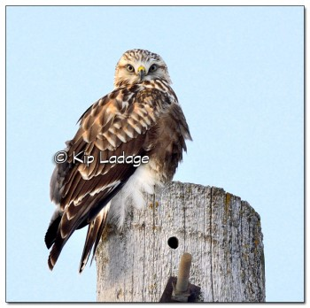 Rough-legged Hawk on Power Pole - Image 485474 - (© Kip Ladage)