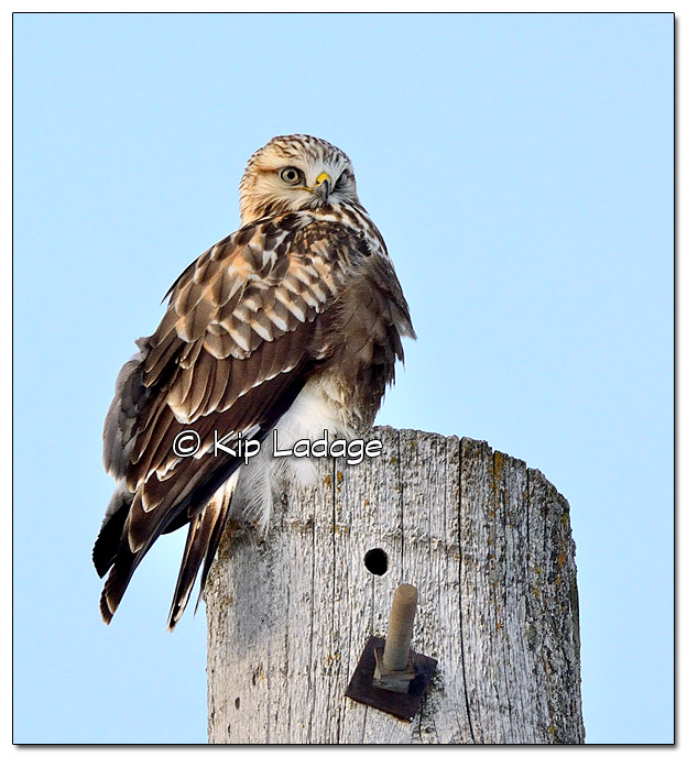 Rough-legged Hawk on Power Pole - Image 485477 - (© Kip Ladage)