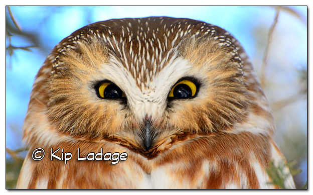 Saw-whet Owl in Cedar Tree - Image 486478 (© Kip Ladage)