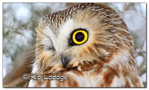 Saw-whet Owl in Cedar Tree - Image 486793 (© Kip Ladage)