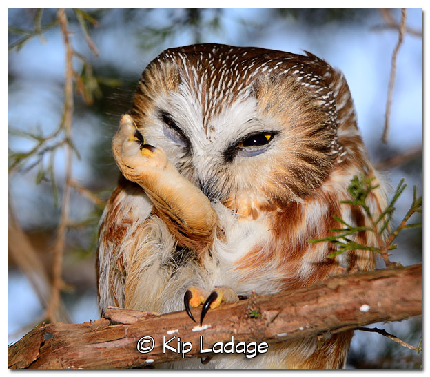 Saw-whet Owl in Cedar Tree - Image 486960 (© Kip Ladage)