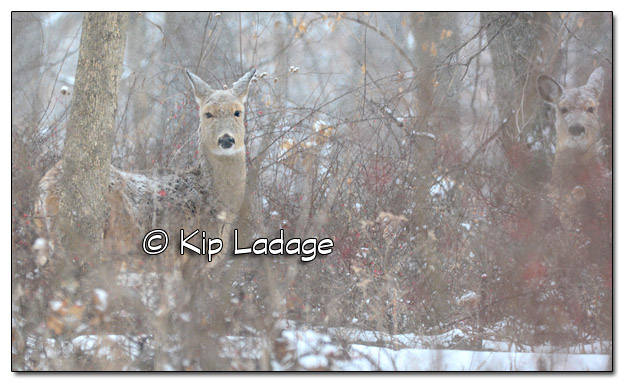 Whitetail Deer in Falling Snow - Image 484323 (© Kip Ladage)