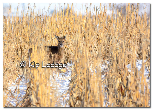 Whitetail Deer in Standing Corn- Image 485533 - (© Kip Ladage)