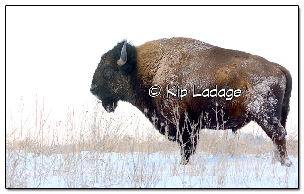 Wild Bison at Neil Smith National Wildlife Refuge - Image 484981 (© Kip Ladage)