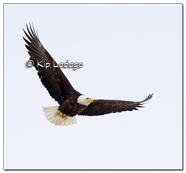 Adult Bald Eagle in Flight - Image 490017 (© Kip Ladage)
