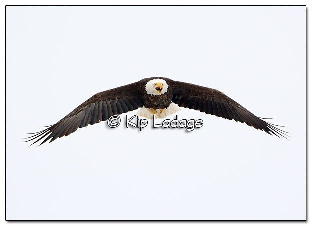 Adult Bald Eagle in Flight - Image 490023 (© Kip Ladage)