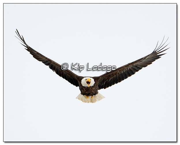 Adult Bald Eagle in Flight - Image 490024 (© Kip Ladage)