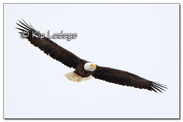 Adult Bald Eagle in Flight - Image 490027 (© Kip Ladage)