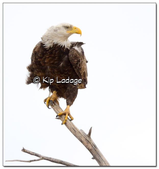 Adult Bald Eagle in Tree - Image 490634 (© Kip Ladage)