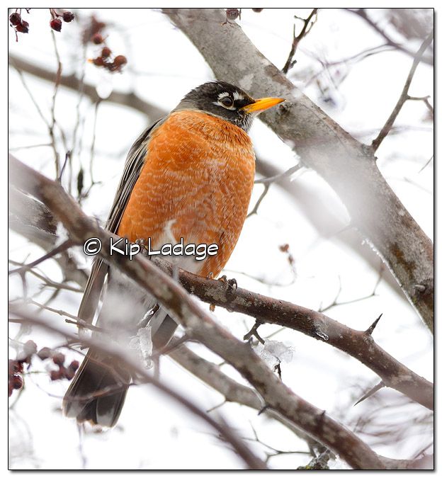American Robin in Icy Tree - Image 489535 (© Kip Ladage)