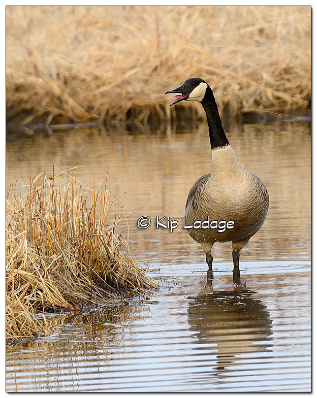 Canada Goose Along Sweet Water Trail - Image 491956 (© Kip Ladage)