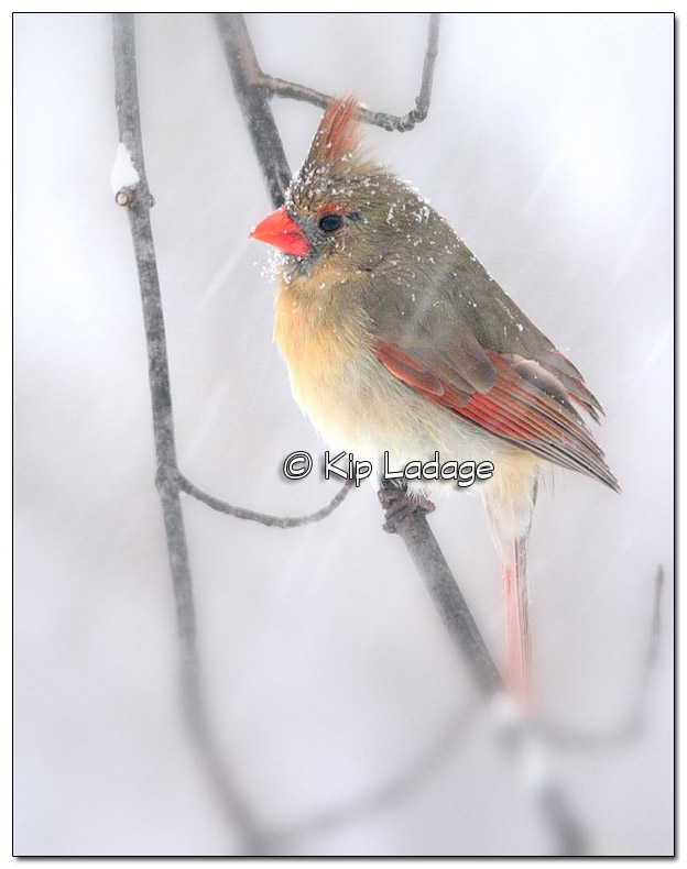 Female Northern Cardinal in Snow Storm - Image 492039 blur (© Kip Ladage)
