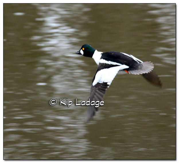 Goldeneye on Wapsipinicon River - Image 490062 (© Kip Ladage)