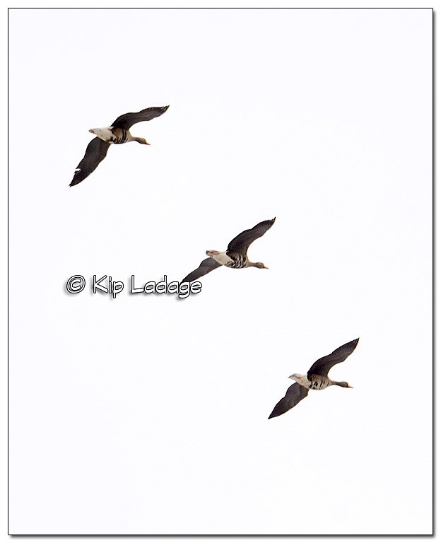 Greater White-fronted Geese in Flight - Image 489788 (© Kip Ladage)