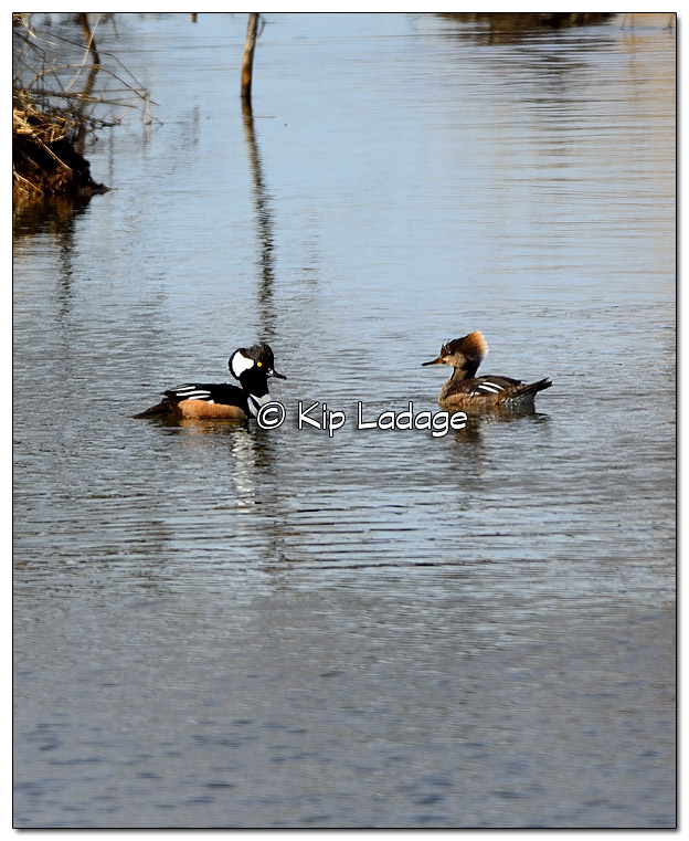 Male and Female Hooded Mergansers - Image 490588 (© Kip Ladage)