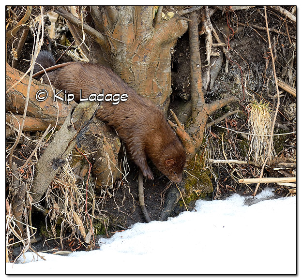 Mink at Sweet Marsh - Image 490116 (© Kip Ladage)