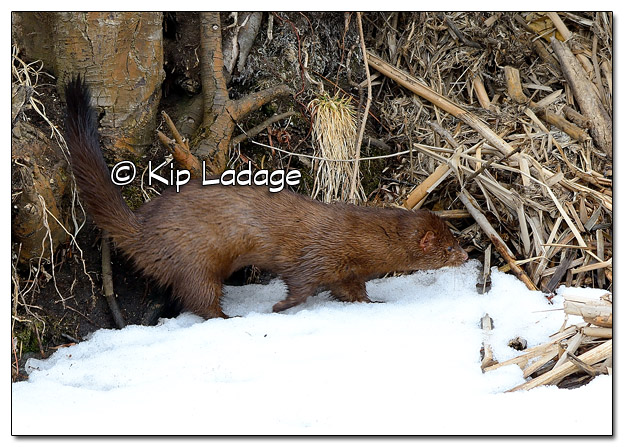 Mink at Sweet Marsh - Image 490118 (© Kip Ladage)