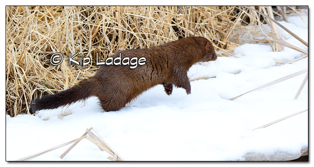 Mink at Sweet Marsh - Image 490126 (© Kip Ladage)