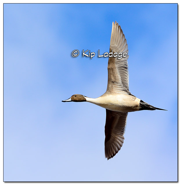 Northern Pintail in Flight - Image 490353 (© Kip Ladage)