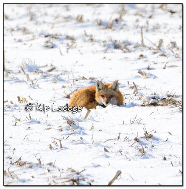Red Fox at Den in Winter - Image 489573 (© Kip Ladage)