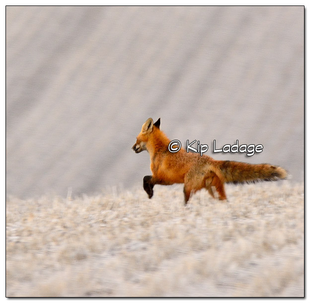 Red Fox Running Across Field - Image 491923 (© Kip Ladage)