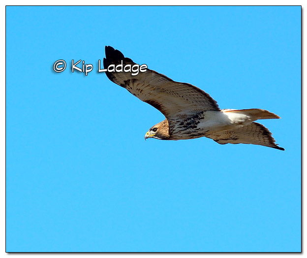 Red-tailed Hawk in Flight - Image 488274 (© Kip Ladage)
