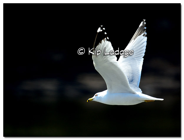 Ring-billed Gull in Flight - Image 488421 (© Kip Ladage)