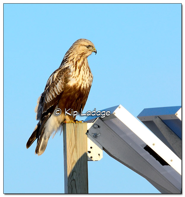 Rough-legged Hawk on Road Sign - Image 489752 (© Kip Ladage)