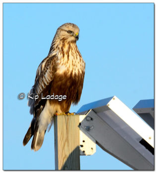 Rough-legged Hawk on Road Sign - Image 489768 (© Kip Ladage)
