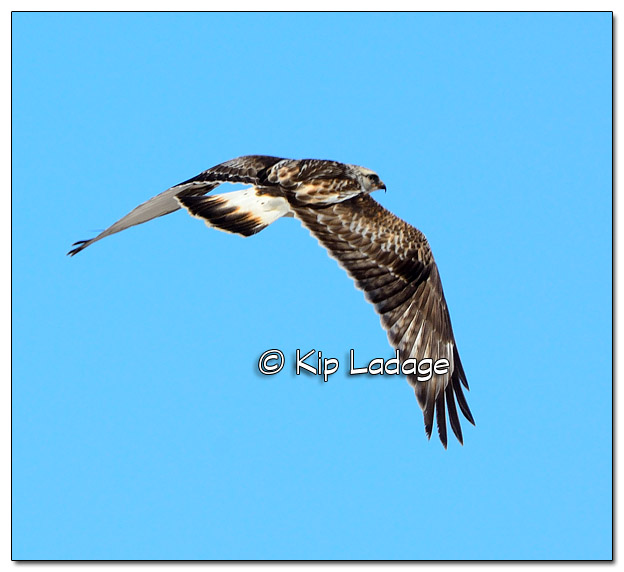 Rough-legged Hawk in Flight - Image 490158 (© Kip Ladage)
