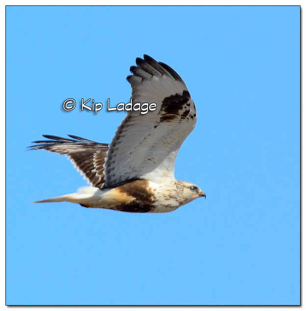 Rough-legged Hawk in Flight - Image 490162 (© Kip Ladage)