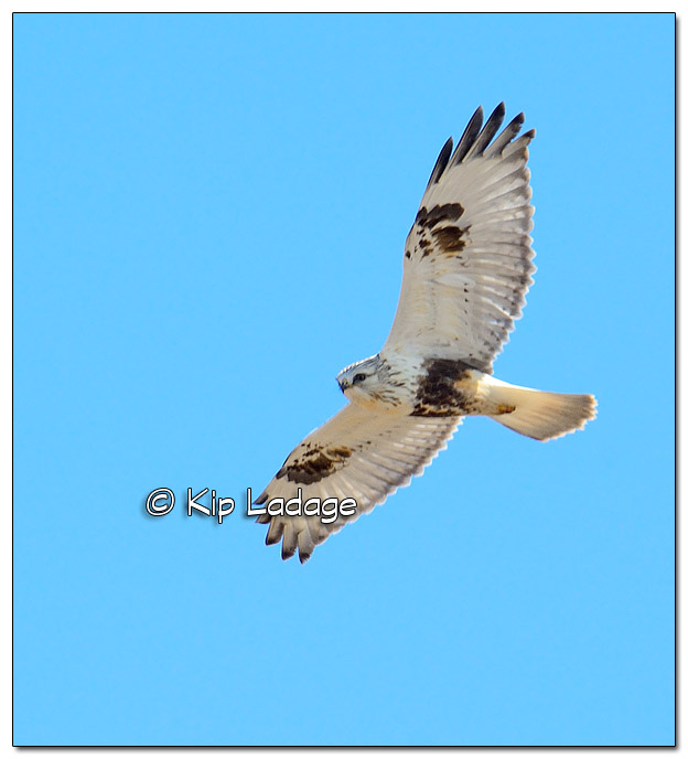 Rough-legged Hawk in Flight - Image 490167 (© Kip Ladage)