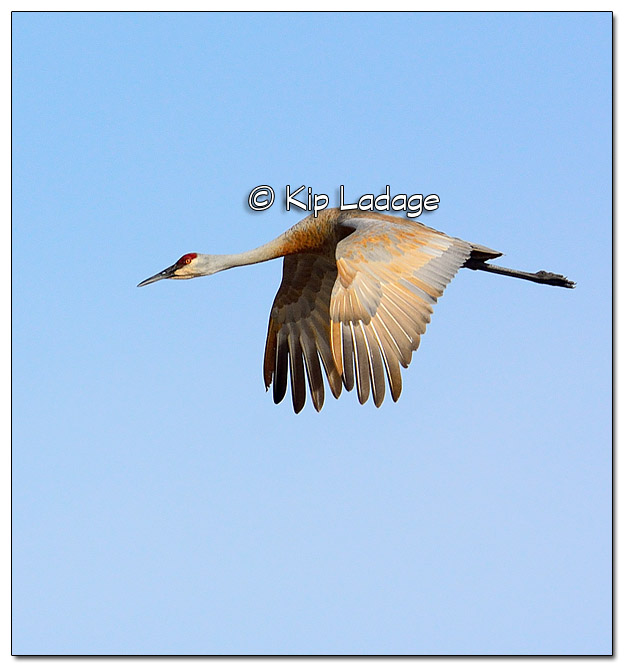 Sandhill Crane in Flight at Sweet Marsh - Image 491706 (© Kip Ladage)