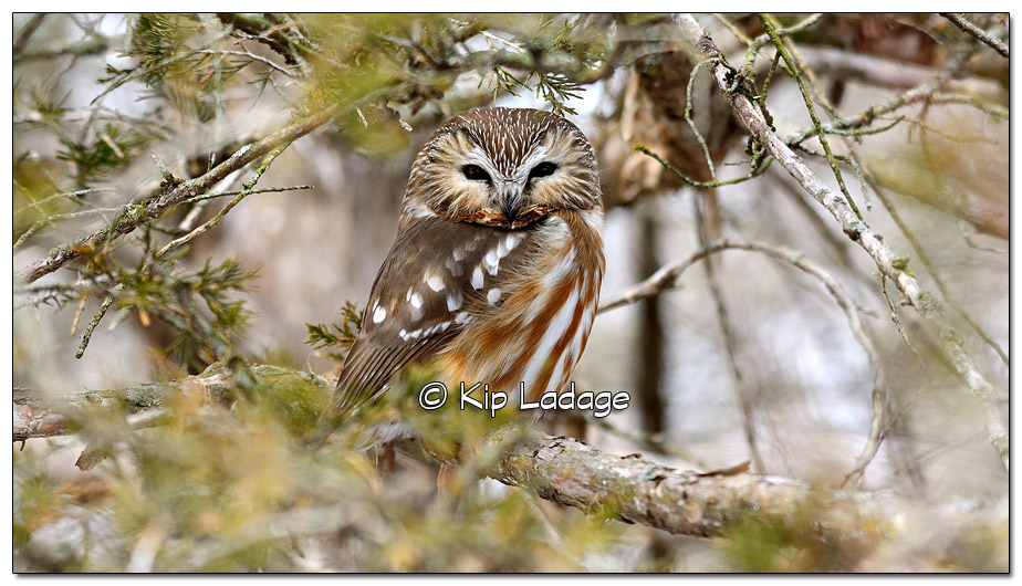 Large Size - Saw-whet Owl in Cedar Tree - Image 489888 (© Kip Ladage)